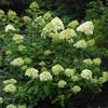 Limelight Hydrangea- Lime green blooms that fade to pink from summer into fall. Grows 5 to 6' tall. Full sun to light shade.
