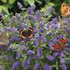 "Blue Chip Butterfly Bush- Dwarf variety that only grows to 30"". Blue/purple blooms summer into fall. Plant in full sun."