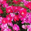 Knockout Roses- Disease resistant variety that is everblooming summer into fall. Comes in red, pink, yellow, white or rainbow. Grows 4' tall. Plant in full sun.
