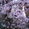 Thundercloud Plum- Small tree that has burgundy foliage spring to fall and pale pink blooms early spring. Grows to 18'.