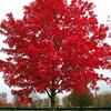 October Glory Maple- Large growing shade tree that grows to 60'. Red fall color. Plant in full sun with room to grow.