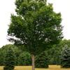Zelkova- Large growing tree that has a V shape that makes a great street tree. Grows 40 to 60'. Plant in sun.