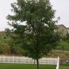Skyline Honeylocust- Medium growing tree that produces light shade. Grows 30 to 40' tall. Yellow fall color.