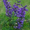 "Indigo Blue Baptisia- (Blue False Indigo) Rich lilac blue flowers in late spring. Grows up to 36"" tall. Best in full sun to part shade. Great for cutting. Deer resistant."
