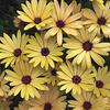 "Osteospermum- large daisy like blooms 2-3"" across. Avaliable in many colors. Does better in cooler temps. Great for pots  or beds. Best in full sun. Drought tolerant."