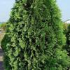 Dark American Arborvitae-  Grows to 15', can easily be kept pruned to any size. Plant in full sun or part shade.