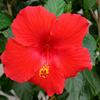 Hibiscus- Tropical blooming plant that has large showy blooms all summer long. Can be grown indoors. Best in full sun with moist, not wet soil. Jacks carries Hibiscus in a tree as well as a bush form.