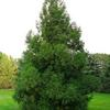 Yoshino Cryptomeria- Evergreen that grows 30 to 50' tall. Pyramidal habit. Best in full sun. Deer resistant.