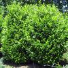 Skip laurel - Grows 8 to 10' tall, can easily be kept smaller. White blooms in spring. Plant in sun or part shade. Great for a screen or living fence.